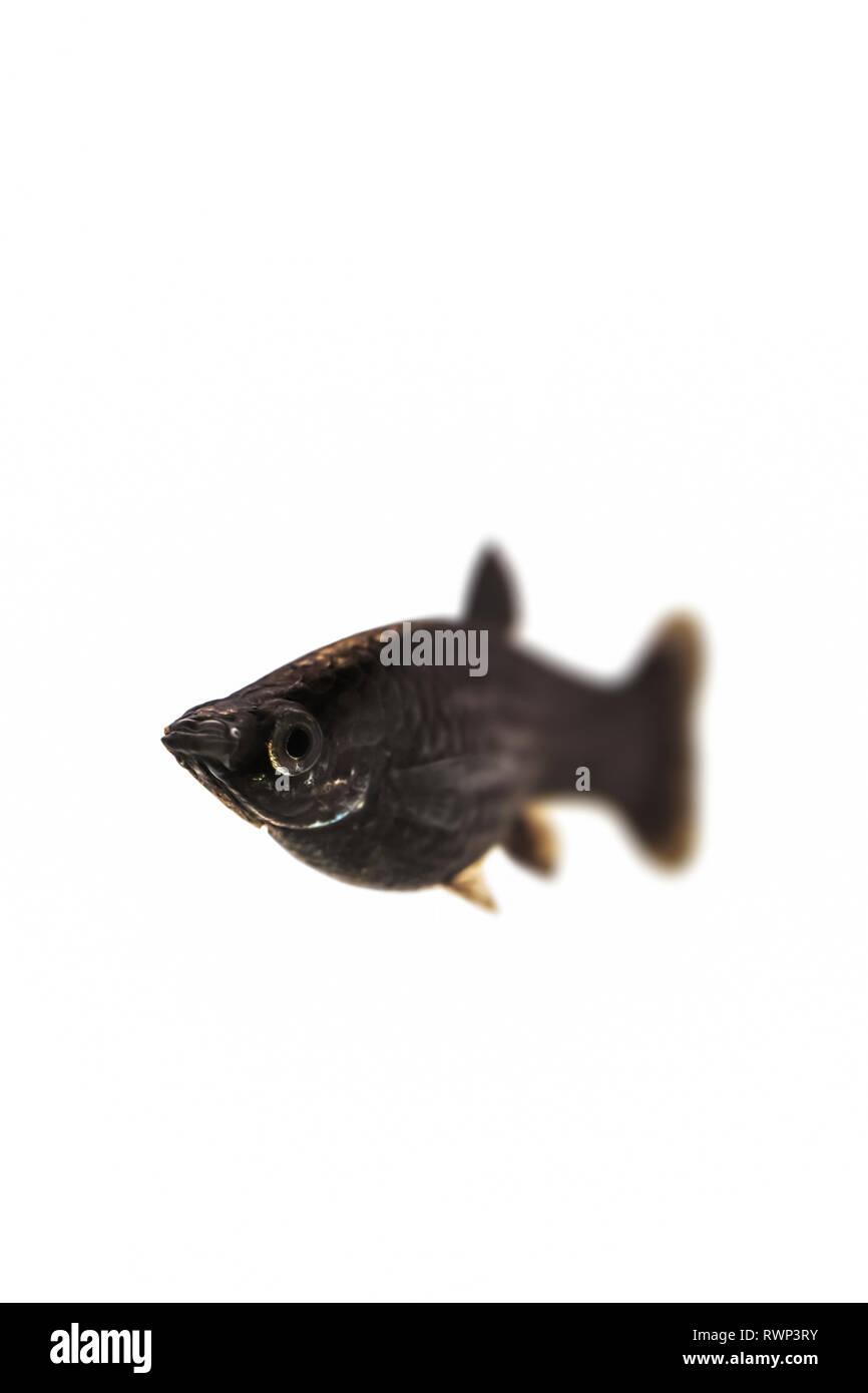 Black Common Molly fish (Poecilia sphenops) on a white background Stock Photo