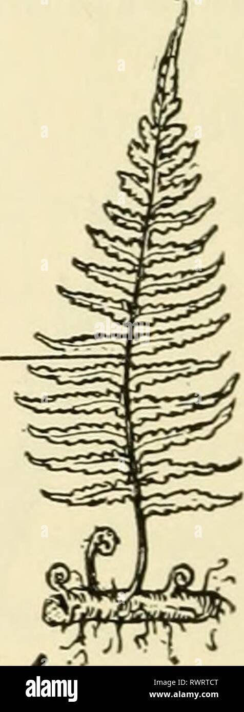 Elements of biology, with special Elements of biology, with special reference to their rôle in the lives of animals elementsofbiolog00buch Year: 1933  LEAFY SPOROPHYTE Stock Photo