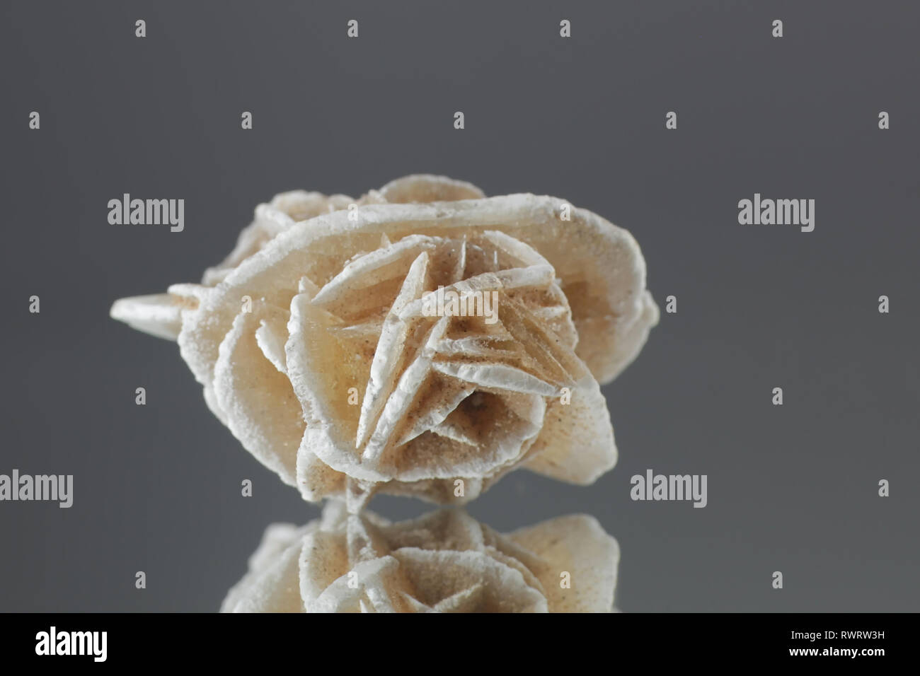 Desert rose is the name given to rose-like formations of crystal clusters of gypsum or baryte. - Stock Image