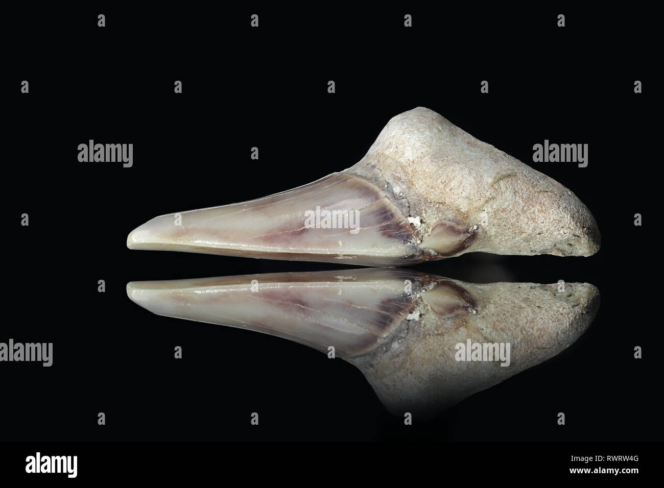 Fossilized shark tooth from Morocco - Stock Image