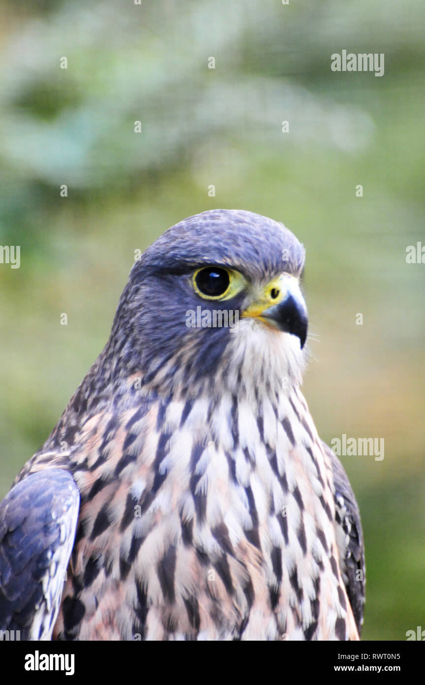 New Zealand Falcon , Kiwi Birdlife Park, Queenstown Stock Photo