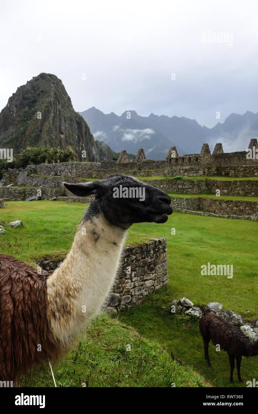 Curious llama in front of Machu Picchu ruins, Peru Stock Photo