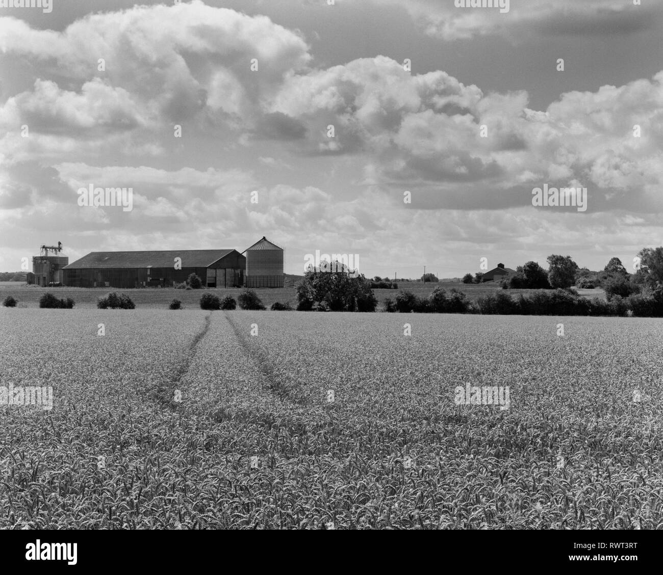 Field of ripening wheat and grain silo in South Cambridgeshire - Stock Image