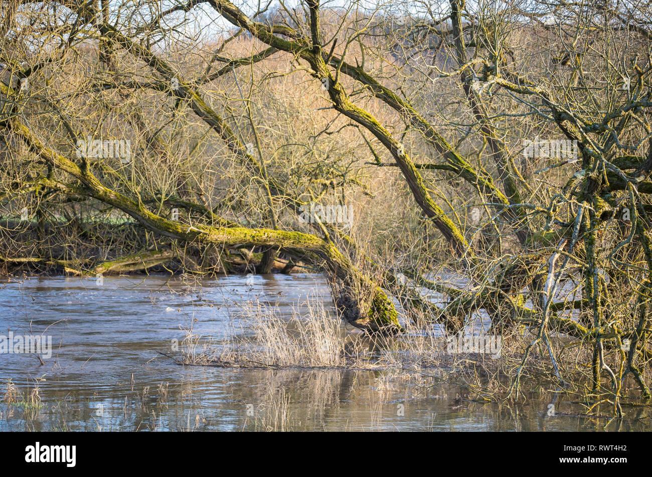 Überschwemmung - Bäume am Flussufer der Lahn - Stock Image