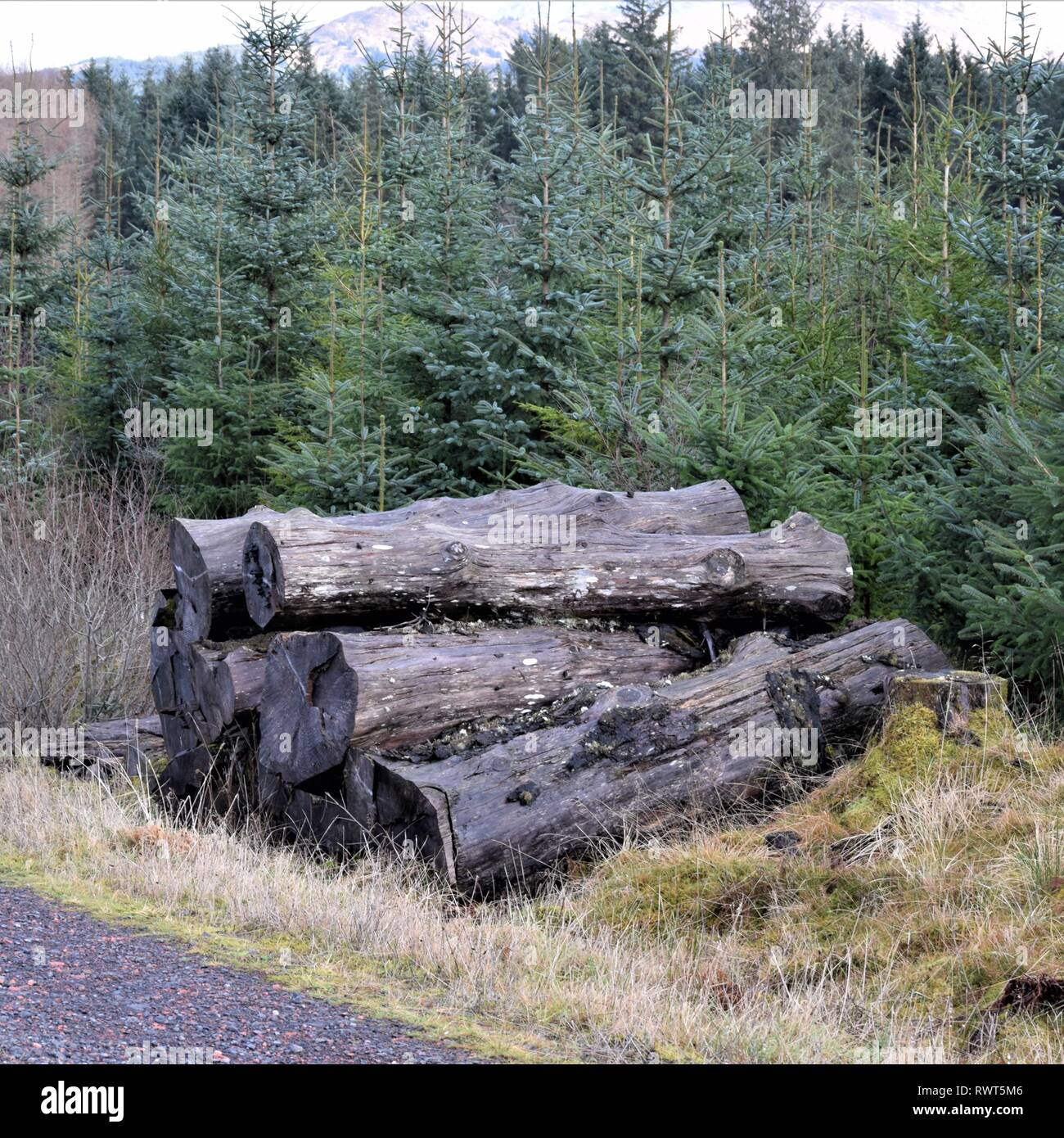Young Sitka Spruce plantation contrasted with pile of peeled, decaying, ugly log stack at Forestry Commission roadside. Snow on the hills. - Stock Image