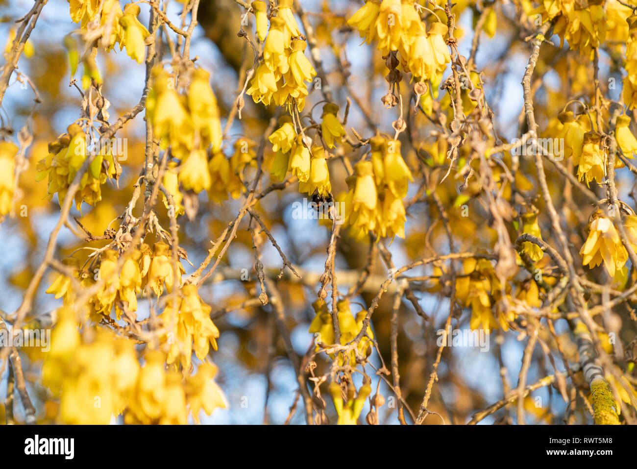 Abundant bright yellow of kowhai flower on bush in full bloom with bumble bee - Stock Image