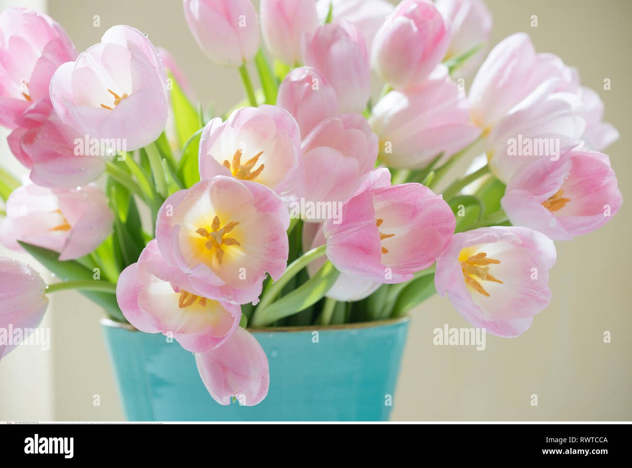 botany, flourish pale pink tulips in turquoi, Caution! For Greetingcard-Use / Postcard-Use In German Speaking Countries Certain Restrictions May Apply - Stock Image