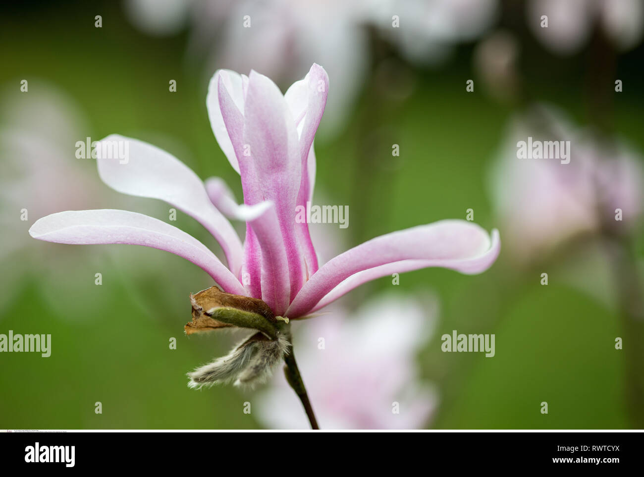 botany, blossom of the magnolia sort ' Messel', Caution!For Greetingcard-Use/Postcard-Use In German Speaking Countries Certain Restrictions May Apply - Stock Image