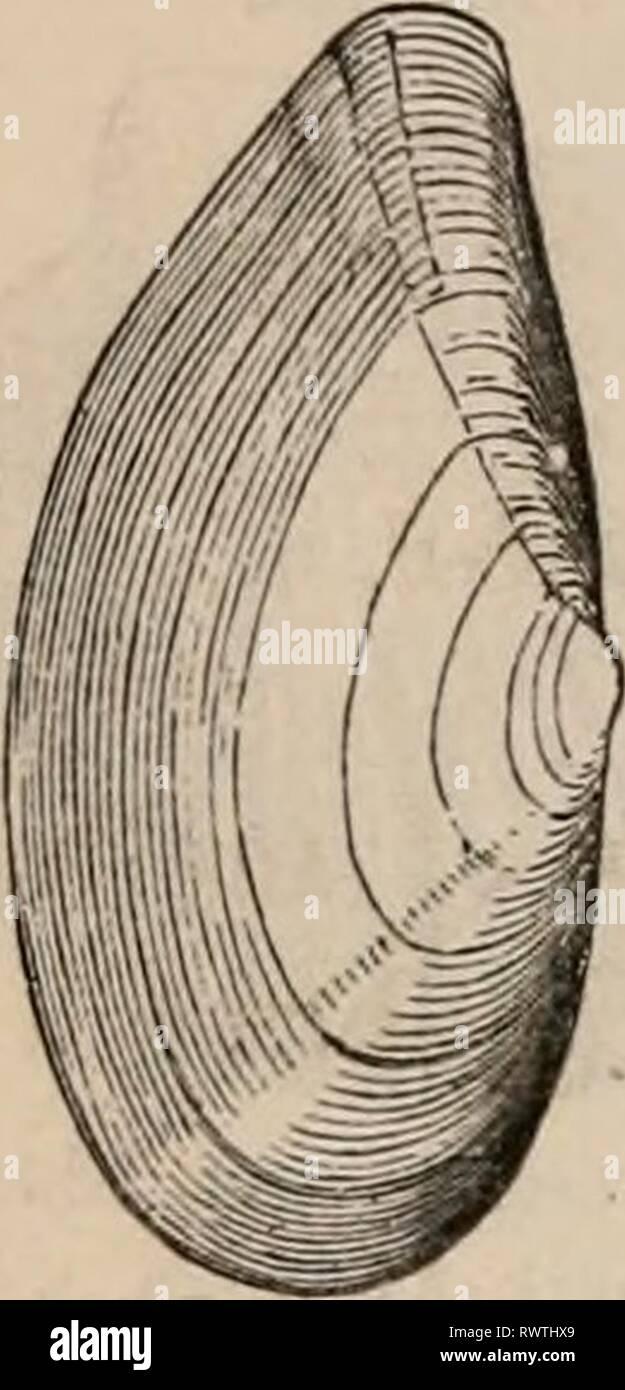 Elements of zoölogy  a Elements of zoölogy : a textbook elementsofzolo00tenn Year: c1875  428 MOLLUSCA : ACEI'HALA. FIG. 652. FIG. 651. Stock Photo