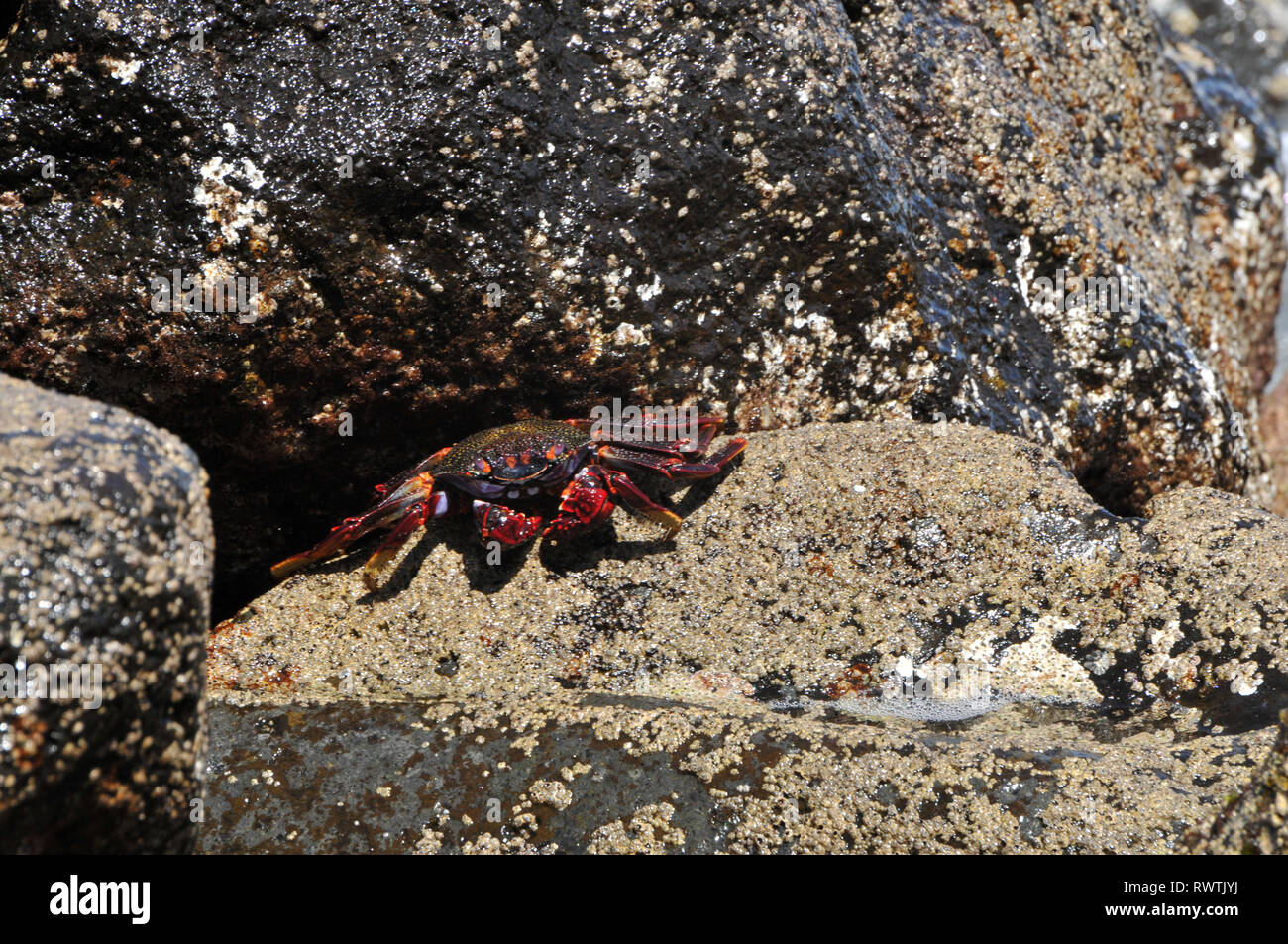 Around Madeira - Lightfoot crab (Grapsus adscensionis) on the shoreline Stock Photo