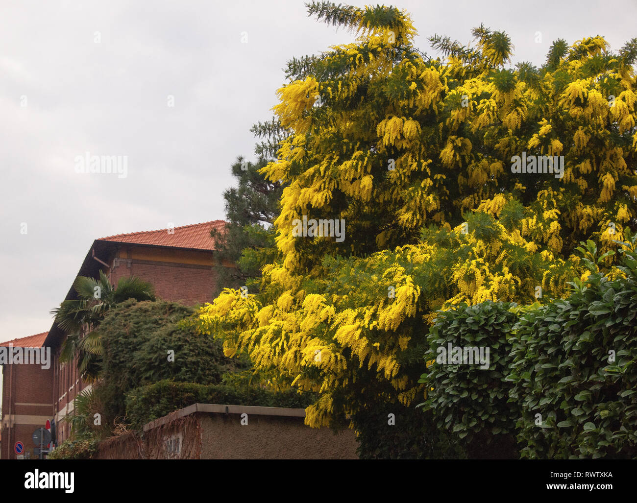 a mimosa tree in a garden with its intense colors - Stock Image