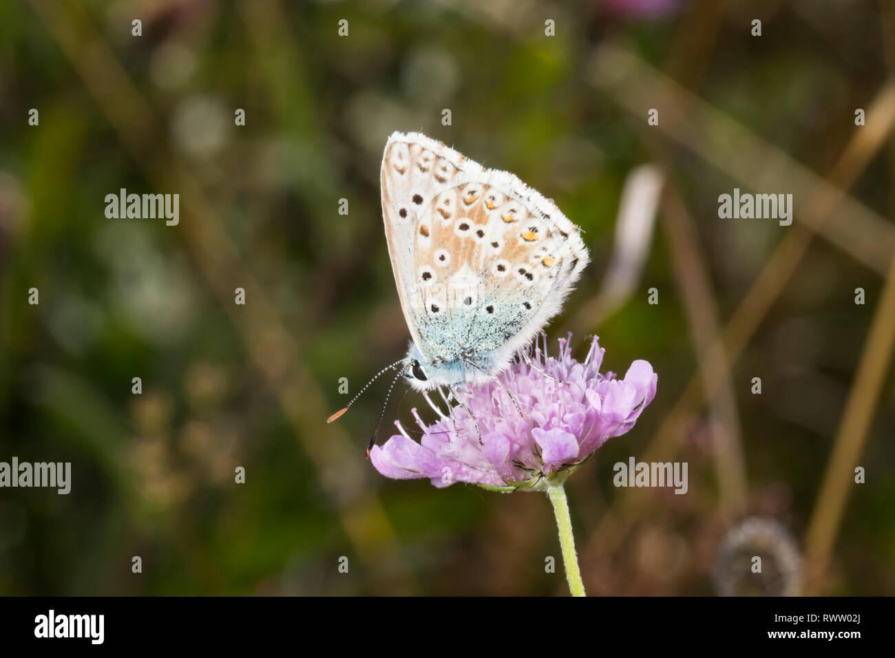 A Chalk Hill Blue butterfly (Polyommatus coridon) feeding on a flower. - Stock Image