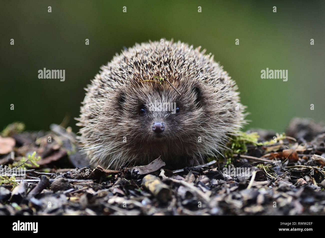 adult hedgehog at dusk. Dorset, UK - Stock Image