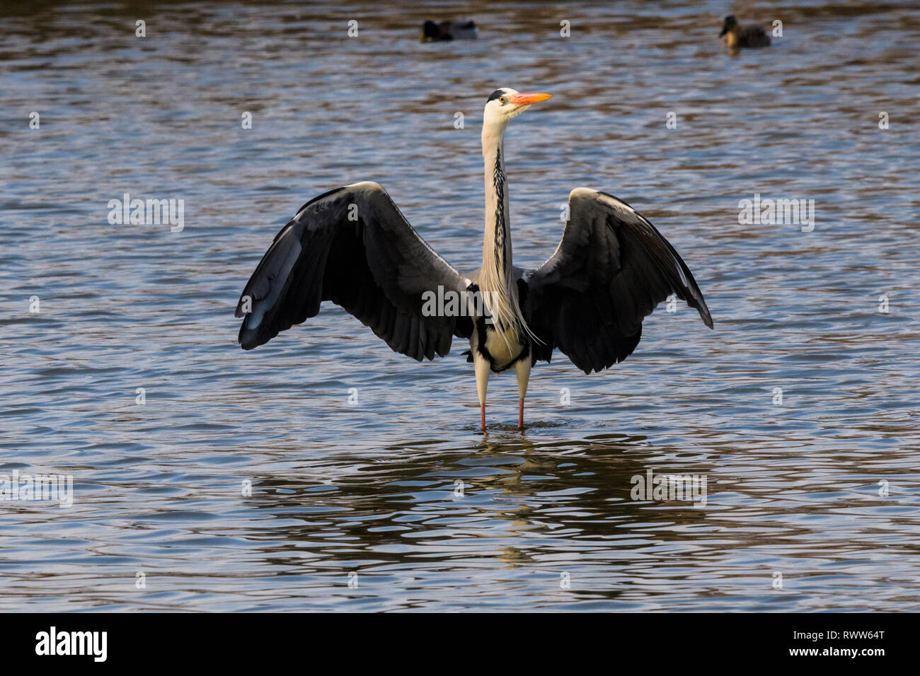 A grey heron standing in water with wings open - Stock Image