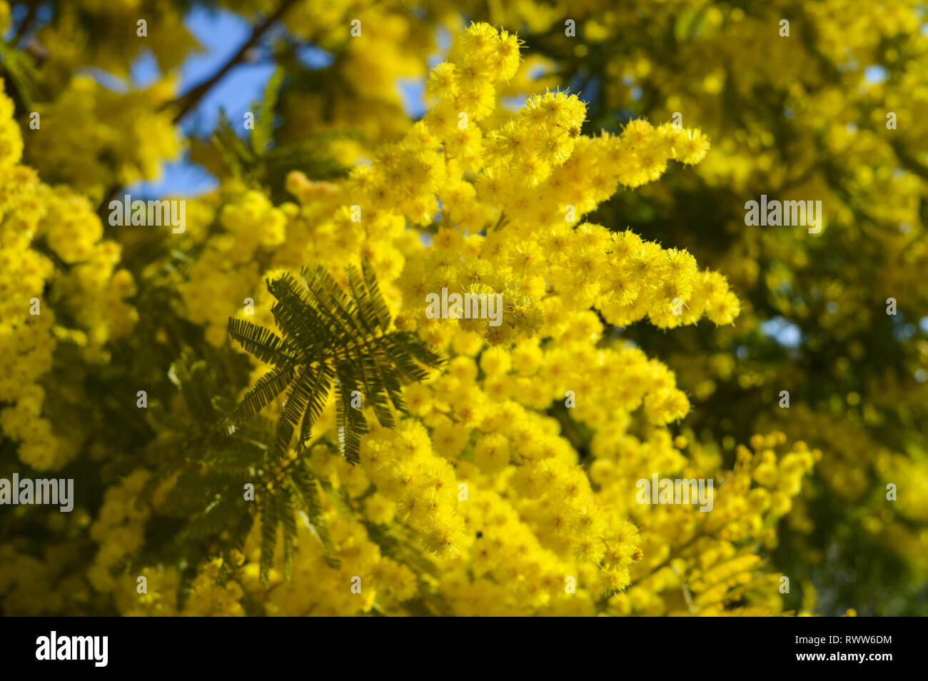 Acacia Dealbata Plant Stock Photos Acacia Dealbata Plant Stock
