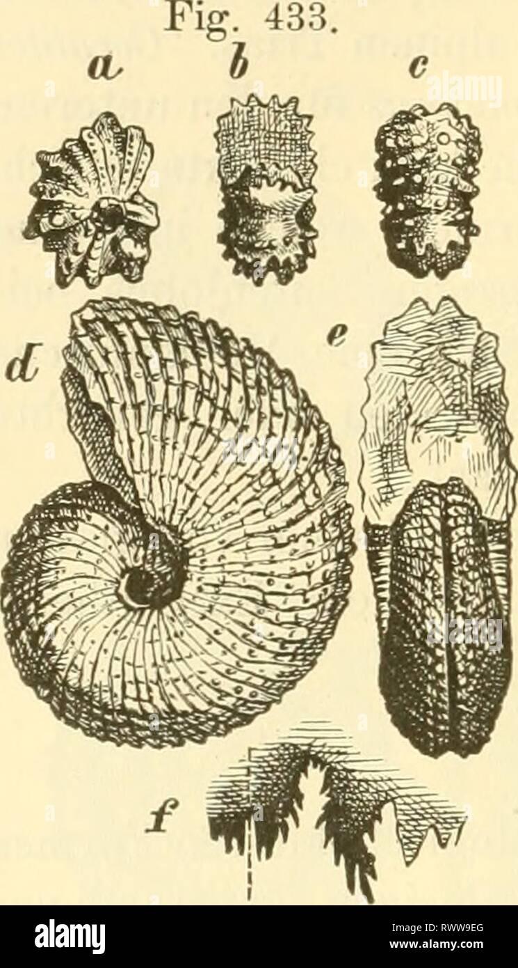Elemente der palaeontologie (Palaeozoologie) (1884) Elemente der palaeontologie. (Palaeozoologie.) elementederpalae00hoer Year: 1884  318 Mollusca. Formen mehr oder weniger gekerbt, oben zugespitzt, Loben einfach gezackt. Sculptur sehr entwickelt, aus zahlreichen Spaltrippen und einer wechselnden Anzahl von Dornspiralen bestehend, auf dem Extern- theile median unterbrochen. Externtheil zumeist mit einer medianen, von Dornen begleiteten Furche. Wohnkammer zwei Drittel Windungen lang, Mund- saum parallel der Quersculptur, mit einem kürzeren, vorspringenden Lappen an der Nabelseite und einem grös Stock Photo