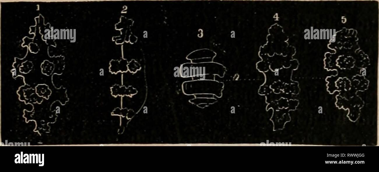 Elements of zoölogy  a Elements of zoölogy : a textbook elementsofzolo00tenn Year: c1875  ALCYONARIA. 475 FIG. 713. FIG. 714. Stock Photo