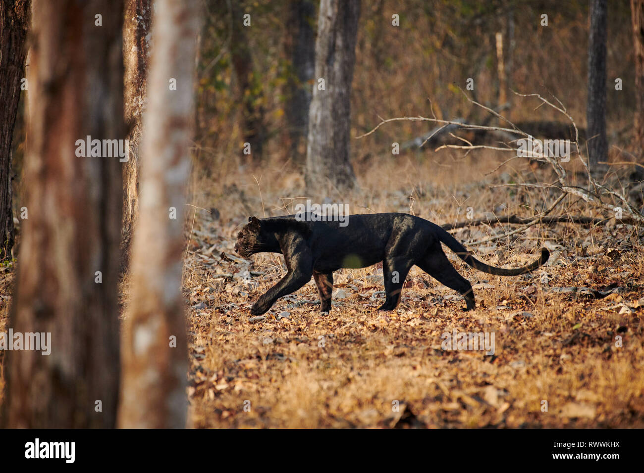 the elusive Black panther, melanistic  Indian leopard, (Panthera pardus fusca), Kabini, Nagarhole Tiger Reserve, Karnataka, India - Stock Image