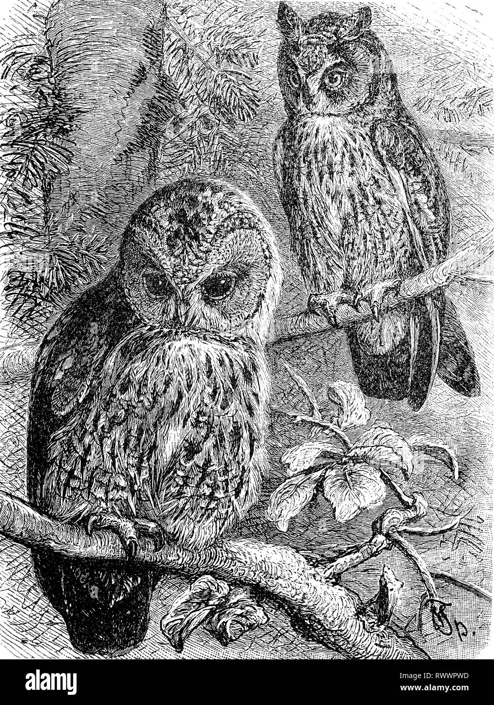 Digital improved reproduction, tawny owl or brown owl, Strix aluco and long-eared owl, Asio otus, original woodprint from th 19th century Stock Photo