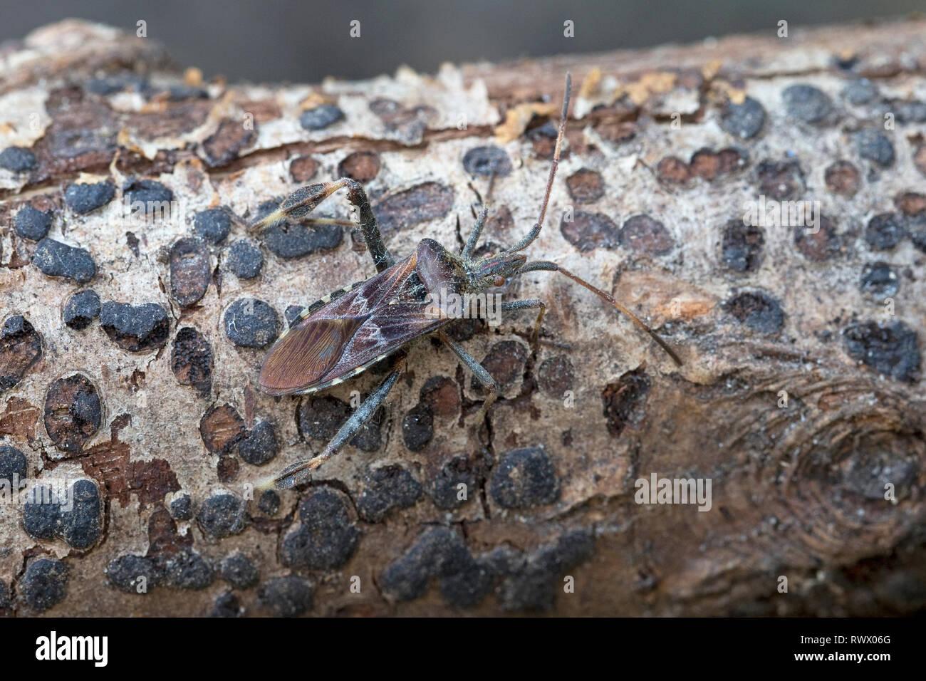 Western Conifer Seed Bug (Leptoglossus occidentalis) - Stock Image