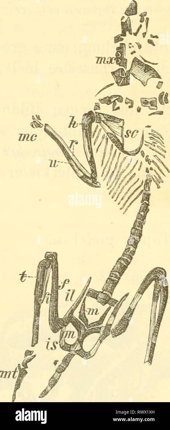 Elemente der palaeontologie (Palaeozoologie) (1884) Elemente der palaeontologie. (Palaeozoologie.) elementederpalae00hoer Year: 1884  522 Vertebrata. Fig. 624. JDiprotodon Oicen (Fig. 623)  i^ c i)m | m. Schädel bis meterlang, die entsprechend grossen Backenzähne wurden bei der Aehnlichkeit mit dem Bau von Tapirzähnen der Gattung Bmotlierium zugeschrieben. Nototherium Owen (= Zygomaturus Macleay) mit | i; etwas kleiner als Diprotodon, besass ebenfalls ein Gebiss, welches an jenes der placentalen Froboscidier erinnert. Stereognathus Owen. Ein Unterkieferfragment mit drei sechsspitzigen Backen Stock Photo
