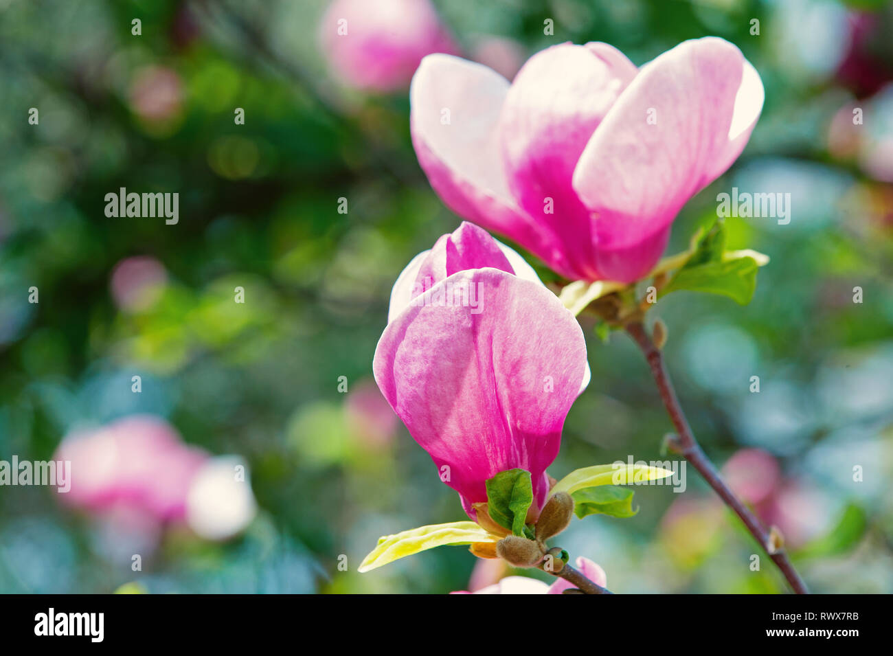 Branch with blooming pink magnolia flower buds on natural background - Stock Image