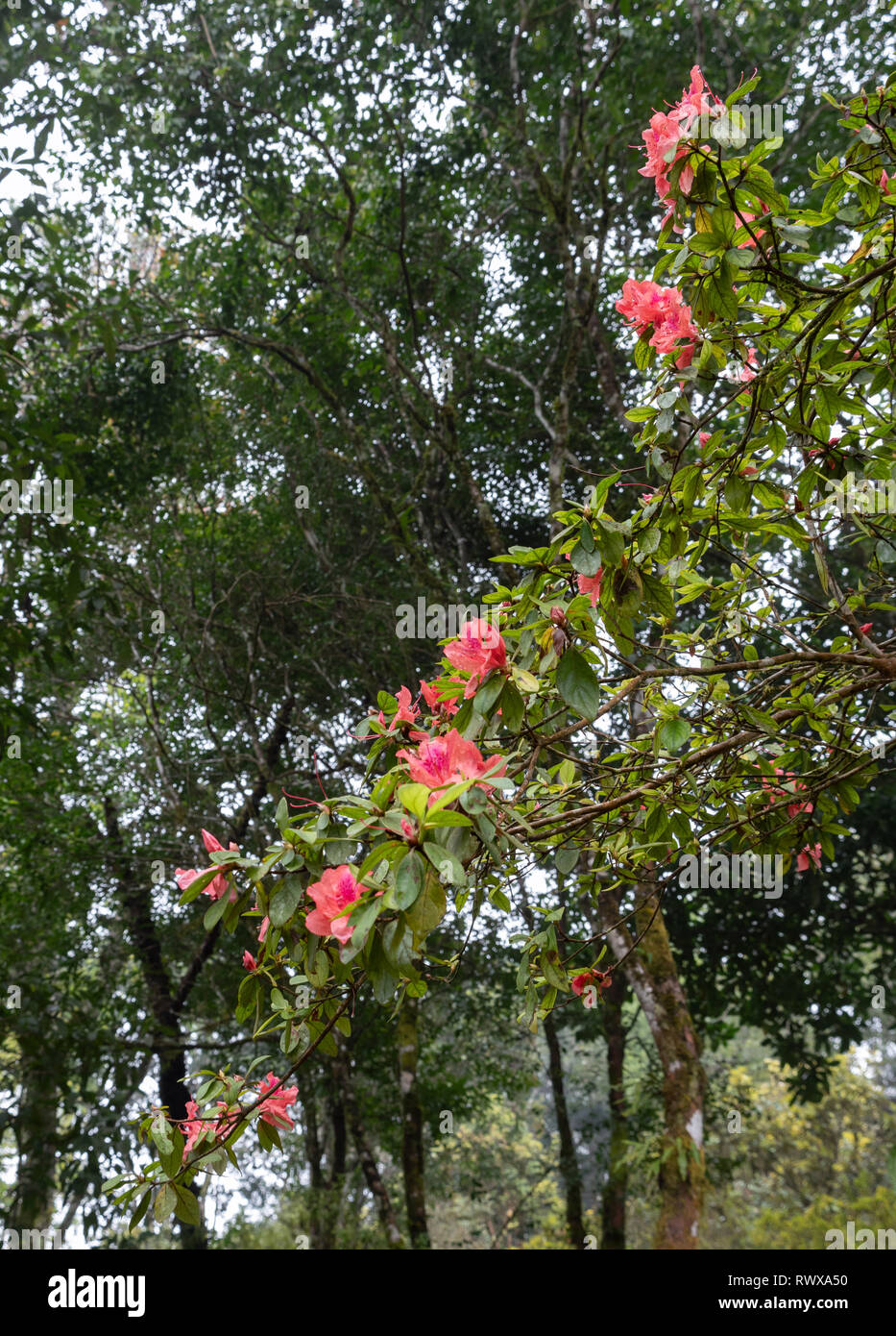 Rhododendron arboreum tree with the drop after the rain in the botanical garden. - Stock Image