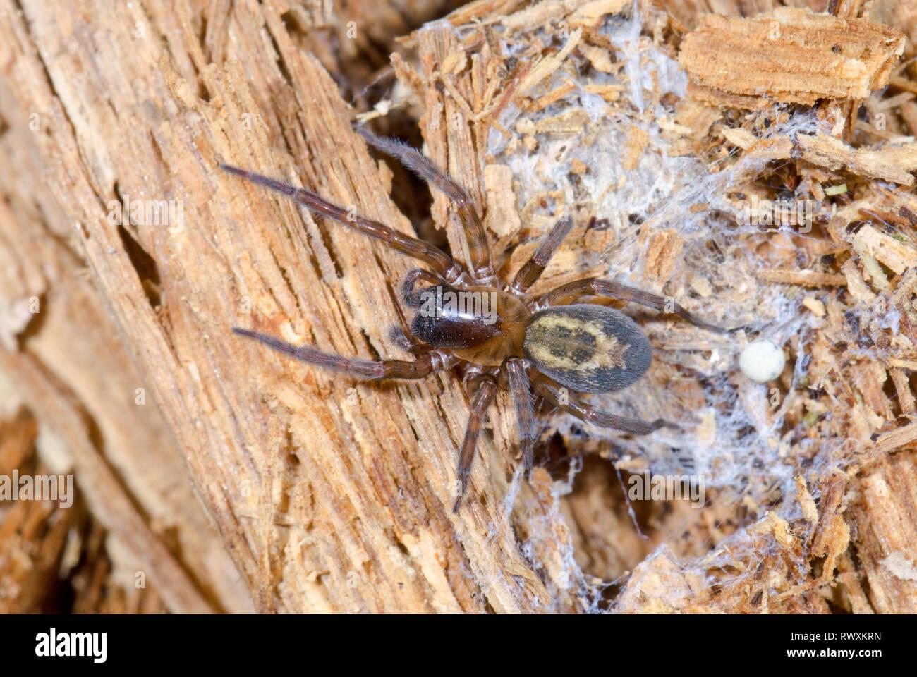 Laceweb Spider (Amaurobius similis) FEMALE, Amaurobiidae. Sussex, UK - Stock Image