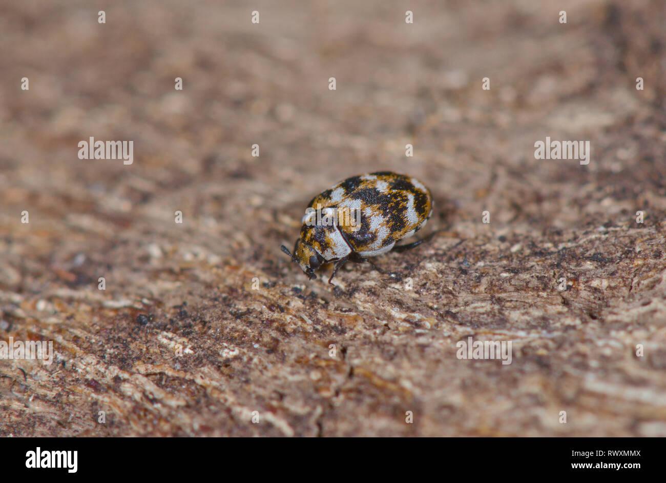 Varied Carpet Beetle (Anthrenus verbasci), Dermestidae. Sussex, UK Stock Photo