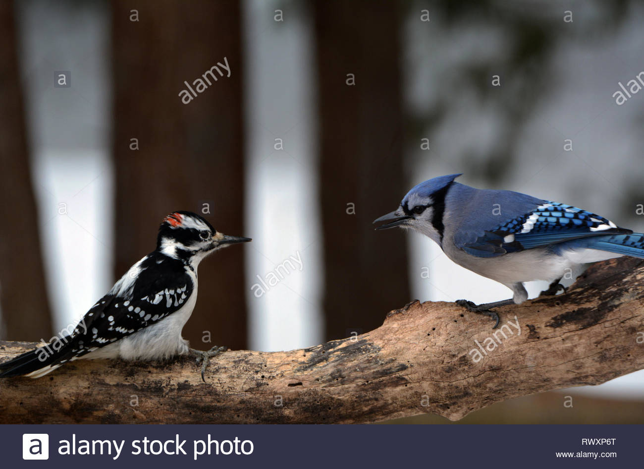 Hairy Woodpecker and Blue Jay - Stock Image