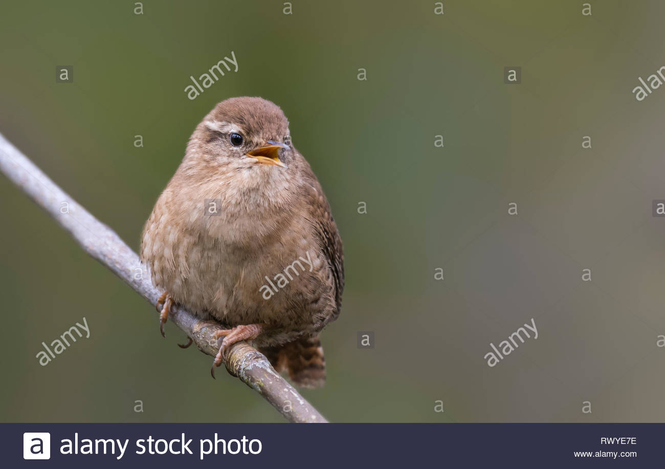 Adult Eurasian wren (Troglodytes troglodytes) perched on a twig in late Winter in West Sussex, UK. - Stock Image