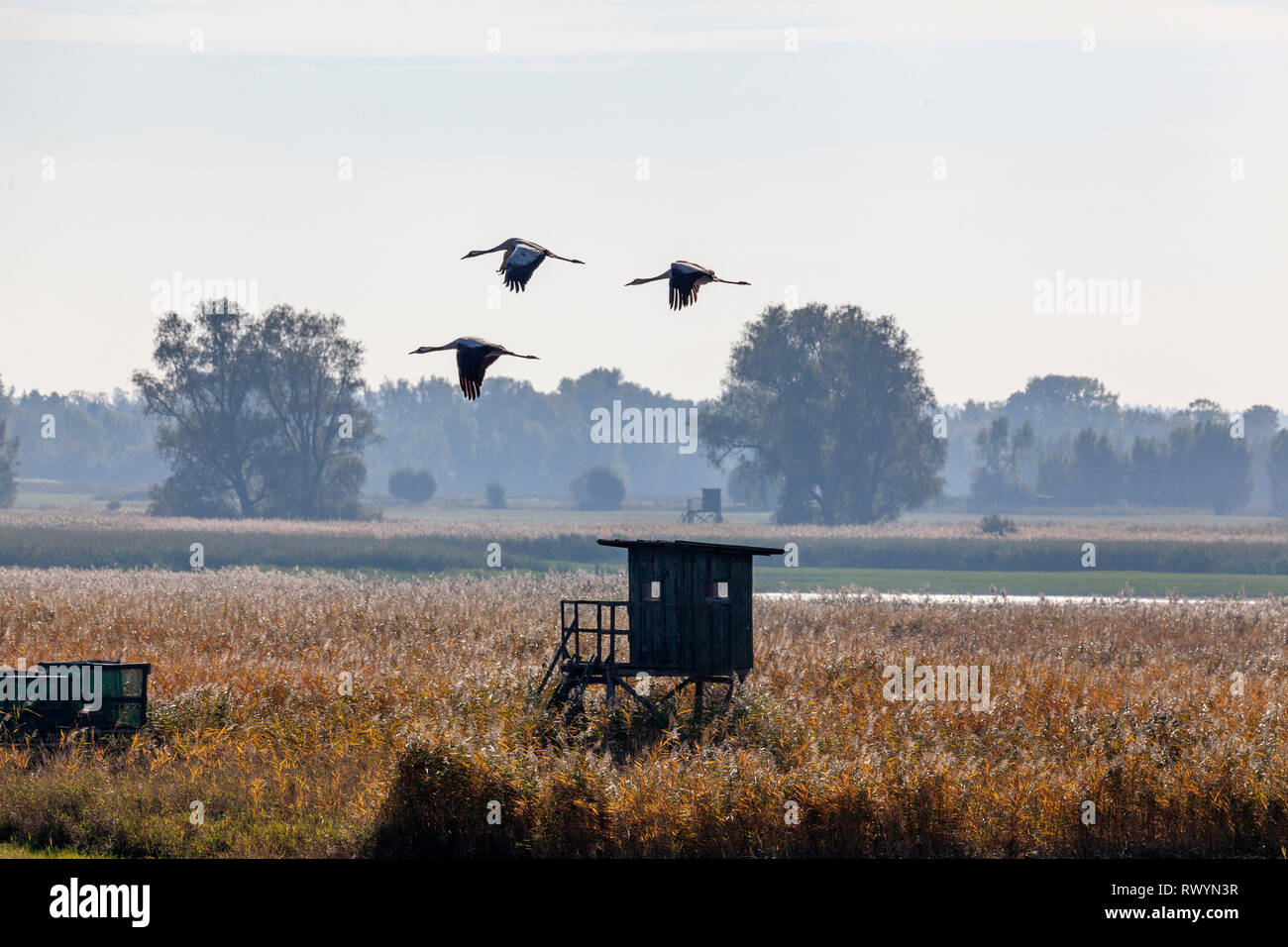 Kranich, Grus grus, über einem Acker in Günz, Mecklenburg-Vorpommern Stock Photo