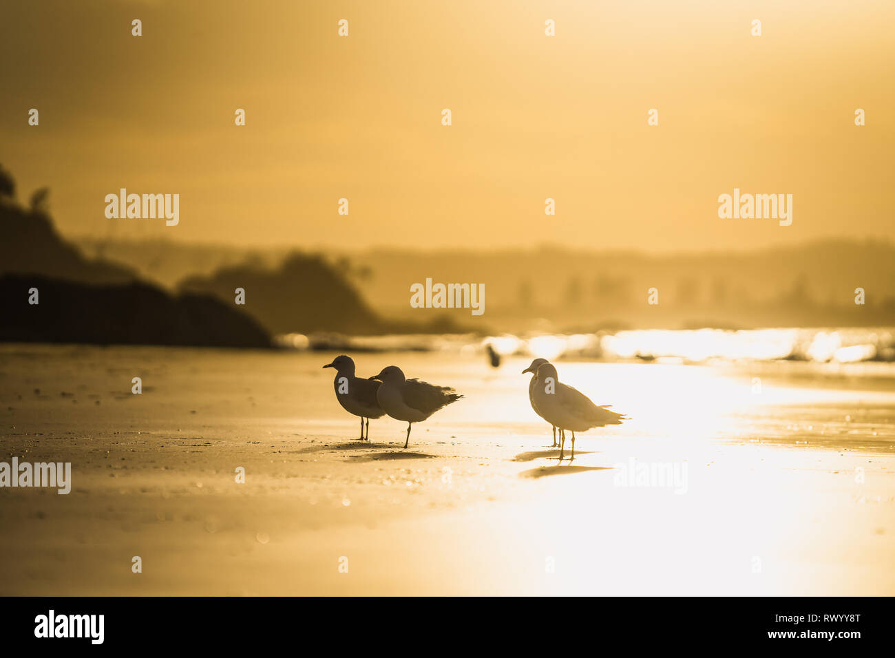 Birds at the beach of Byron Bay - Stock Image