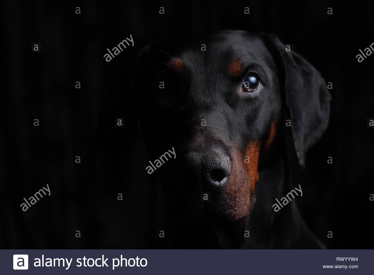 European Dobermann side lit portrait - Stock Image