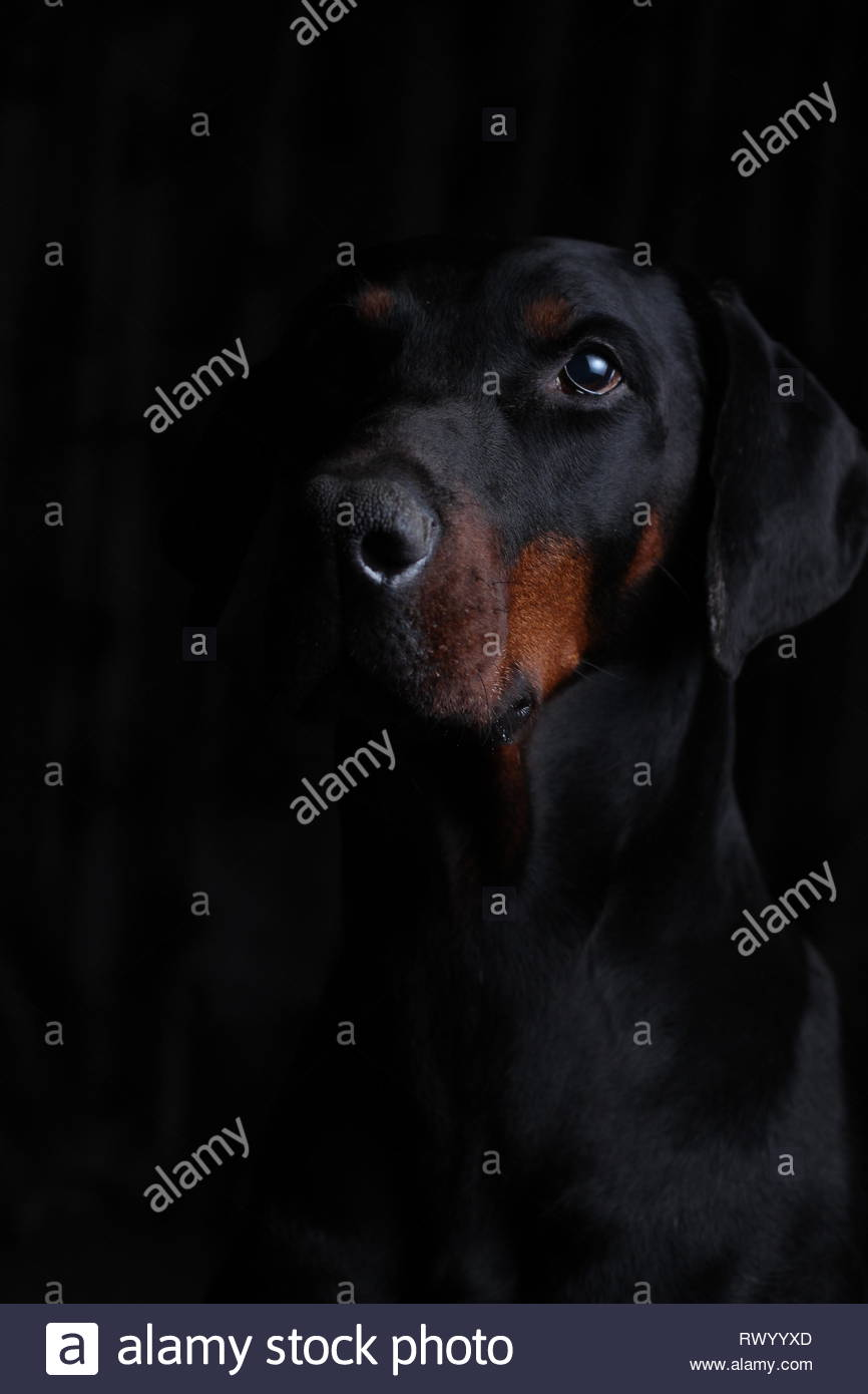 Portrait of a European Dobermann with a black background and side lighting Stock Photo