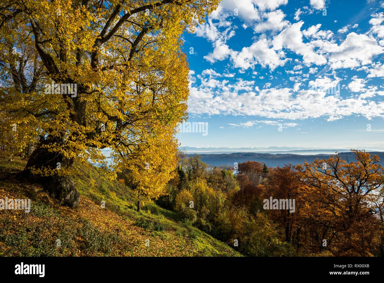 Old large-leaved linden (Tilia platyphyllos) in autumn, Haldenhof, near Sipplingen, Überlingen, Lake Constance Stock Photo