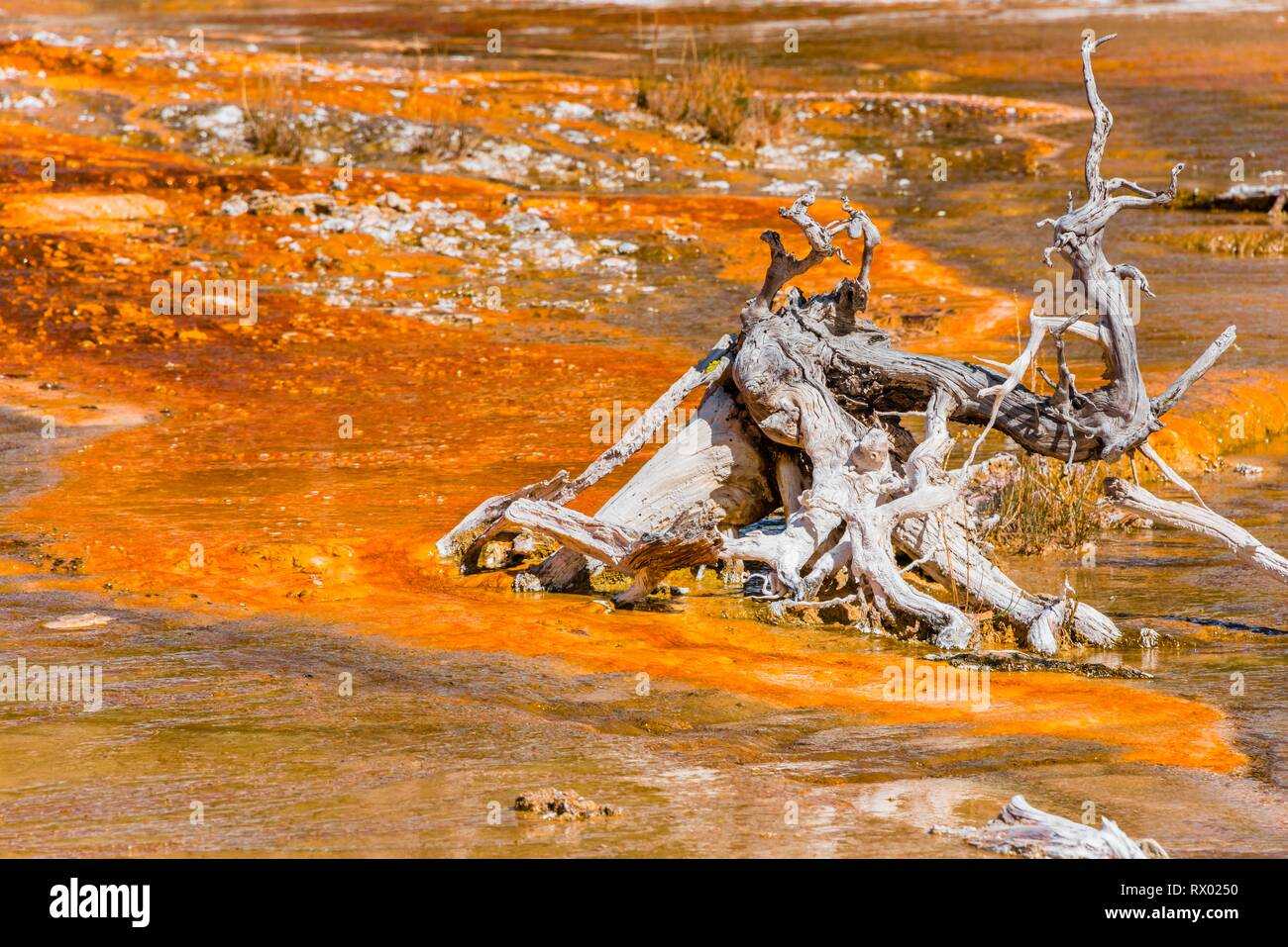Gnarled tree root on yellow bacteria in a hot spring, Black Sand Basin, Yellowstone National Park, Wyoming, USA - Stock Image