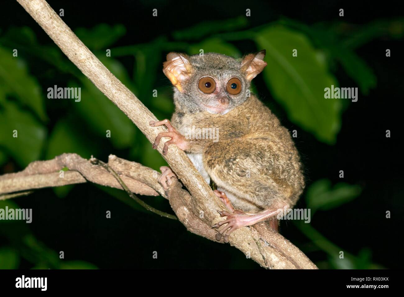 Sulawesi-Tarsier (Tarsius tarsier) sits on branch, endemic, island Selayar, South Sulawesi, Indonesia Stock Photo