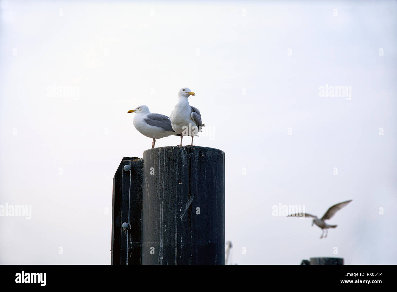 Silbermoeven sitzen auf Holzpfahl im Hafen - Stock Image