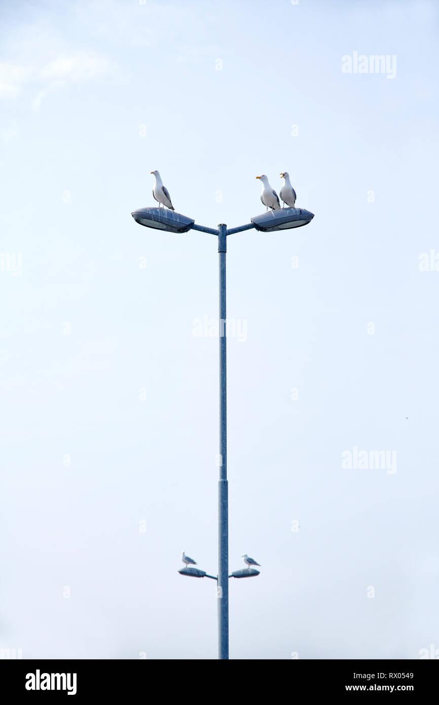 Silbermoeven sitzen auf einer Laterne. - Stock Image