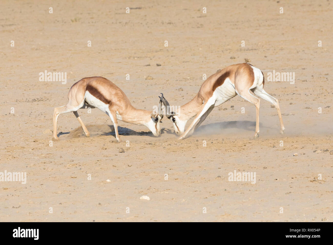 Two springbok rams ( Antidorcas marsupialis) sparring locking horns in a territorial dispute at sunset, Kgalagadi Transfrontier Park, Northern Cape, S - Stock Image