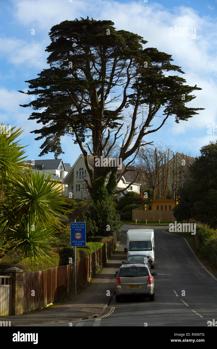 urban,trees,cedar,of,Lebanon,street,road,lungs,city,inner,large,climate,change,globall,warming,carbodioxide,carbon,sequeatration,capture,oxygen, - Stock Image