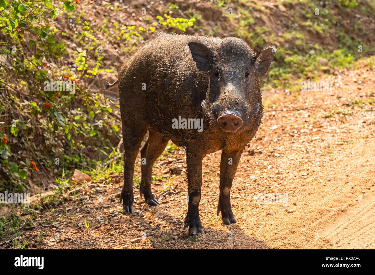 Wild boar. Yala National Park. Sri Lanka. Stock Photo