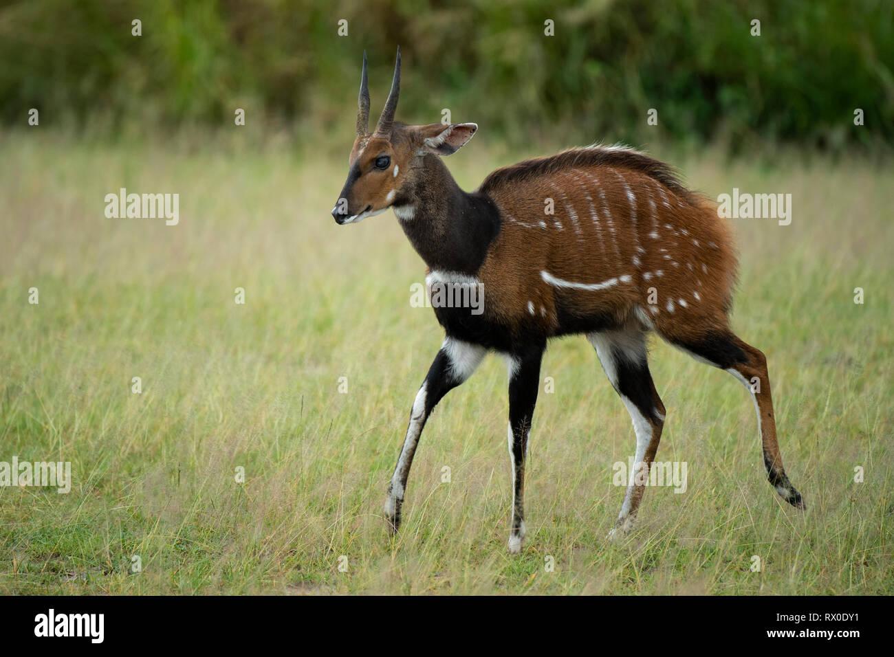 Intimidation display of a male bushbuck, Tragelaphus scriptus, Murchison Falls National Park, Uganda - Stock Image