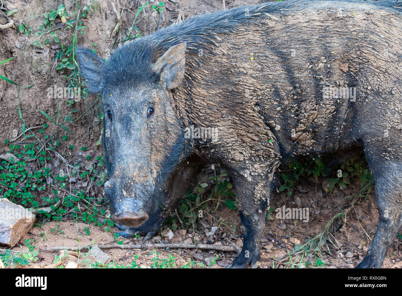 Wild boar. Yala National Park. Sri Lanka. Stock Photo