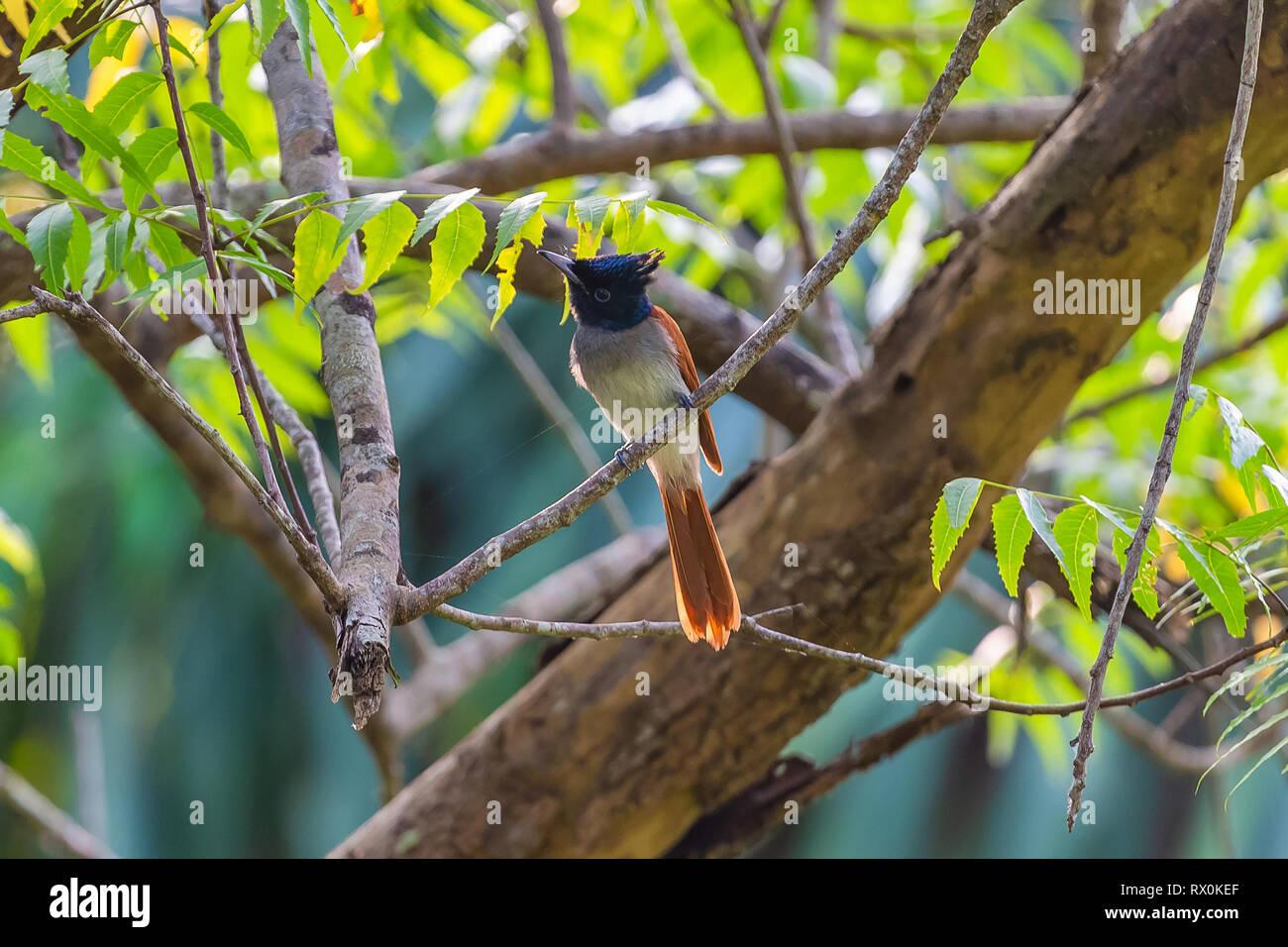 Asian paridise flycatcher. Sri Lanka. Stock Photo