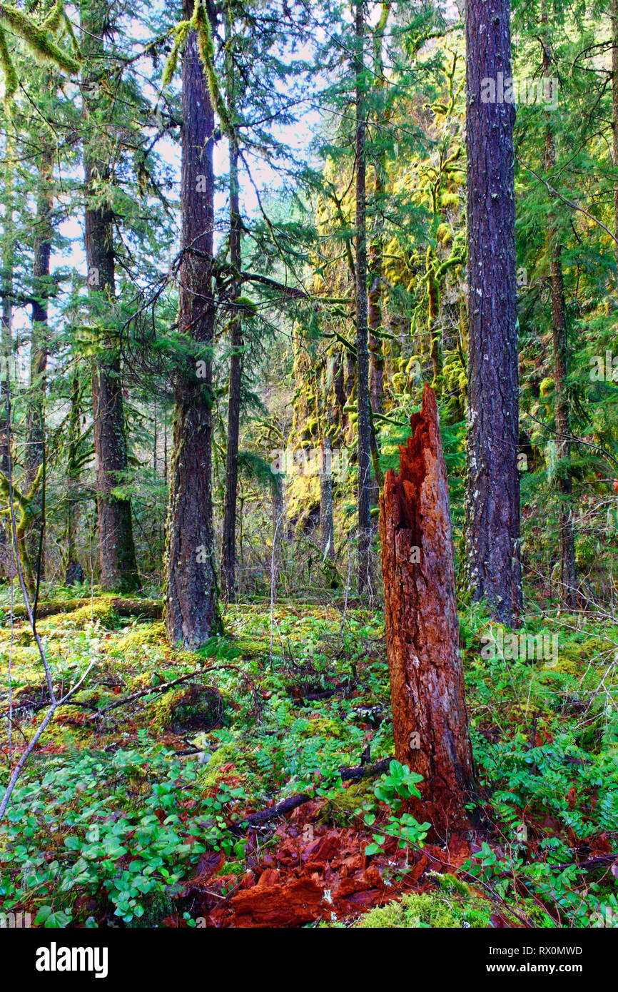 PHOTO: 40,562.02473 -- January 1000 ft elevation, yet no snow Oregon USA conifer forest beautiful quiet mossy Mount Hood National - Stock Image