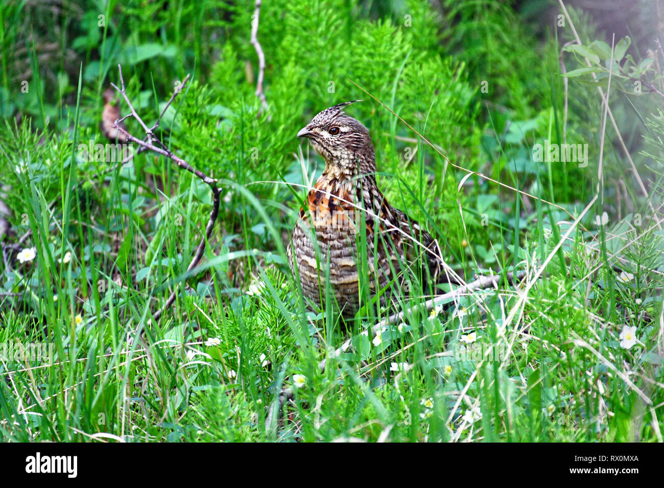 PHOTO: 40,708.08762 -- Chicken-size upland game bird, female ruffed grouse (Bonasa umbellus) standing in green grass and nearly hidden - Stock Image