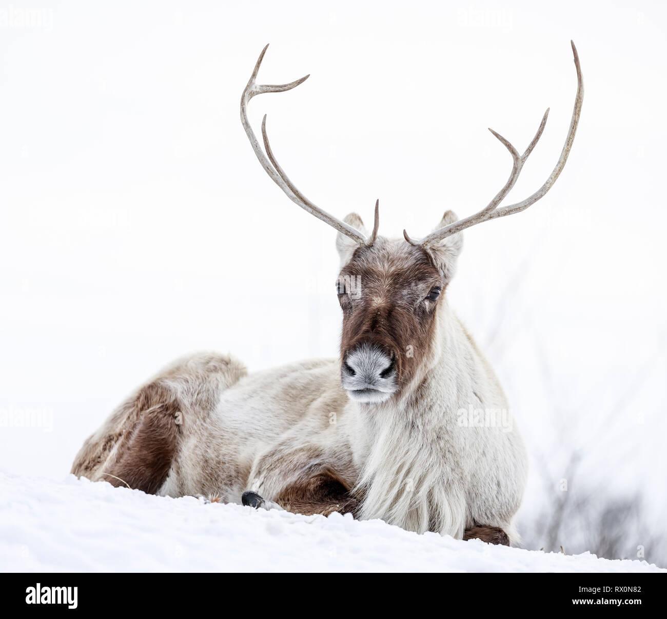 Boreal Woodland Caribou, Rangifer tarandus, in winter, captive animal, Manitoba, Canada. - Stock Image