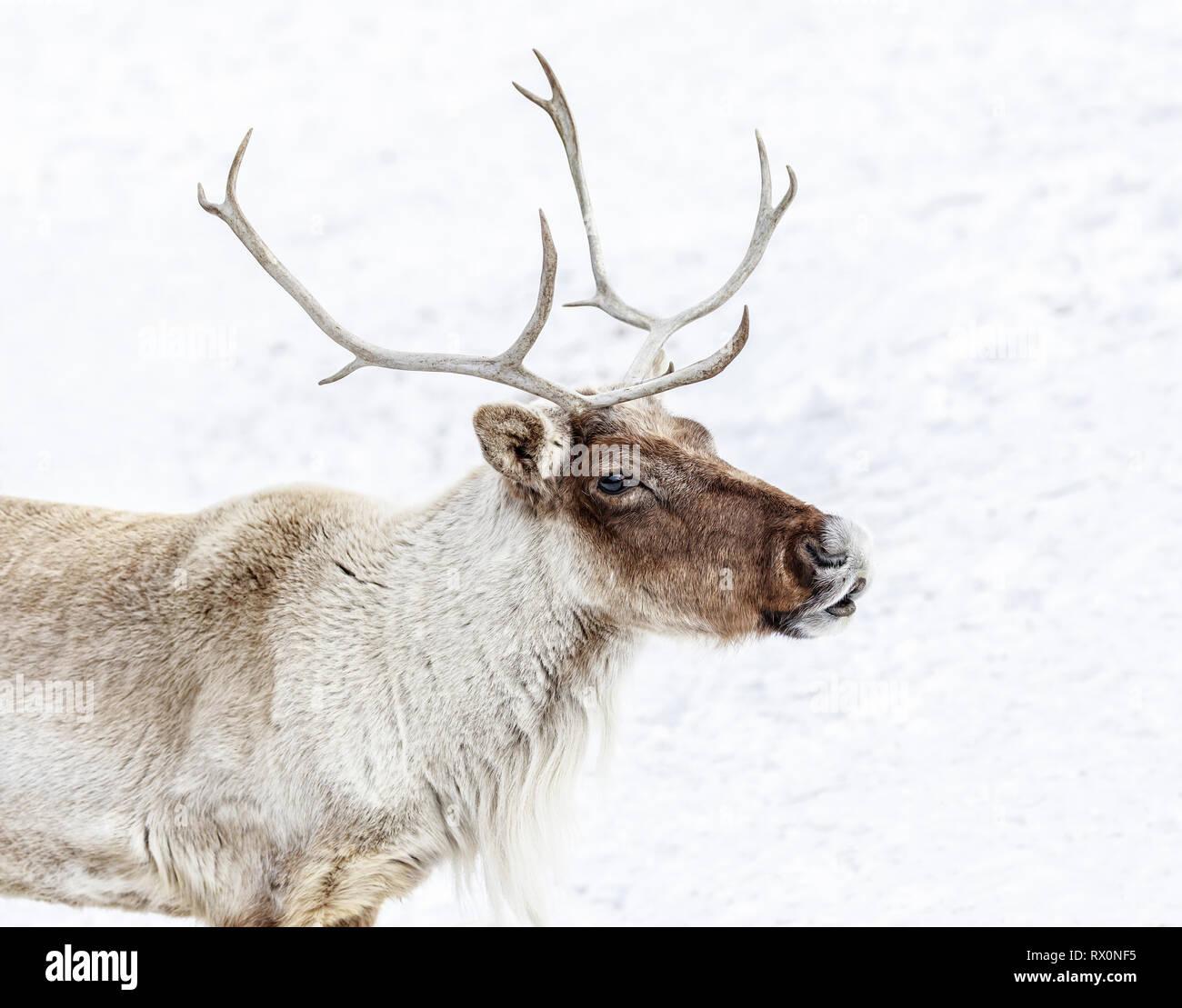 Boreal Woodland Caribou, Rangifer tarandus, captive animal, Manitoba, Canada - Stock Image